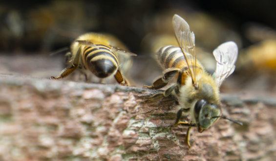 Las abejas y los americanos precolombinos