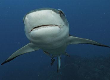 Santuario de Tiburones en Roatán